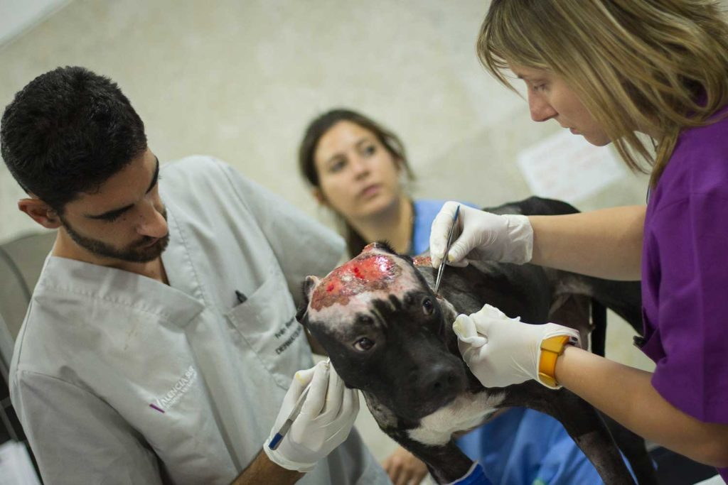 Kiara, la perra a la que ataron y prendieron fuego siendo tratada en el Hospital Veterinario Valencia Sur