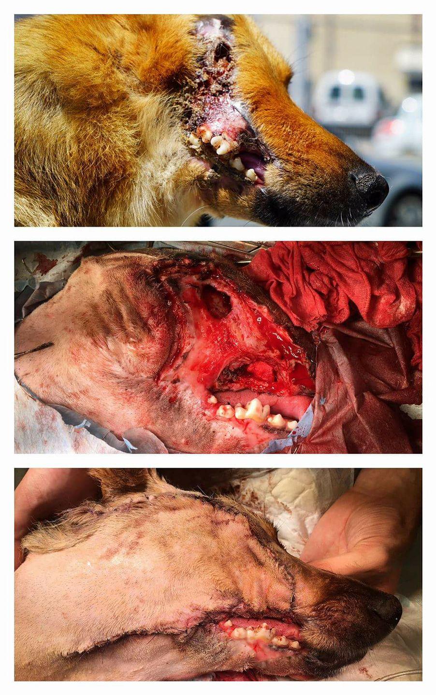 Spirit, el perro al que le cortaron media cabeza con una pala