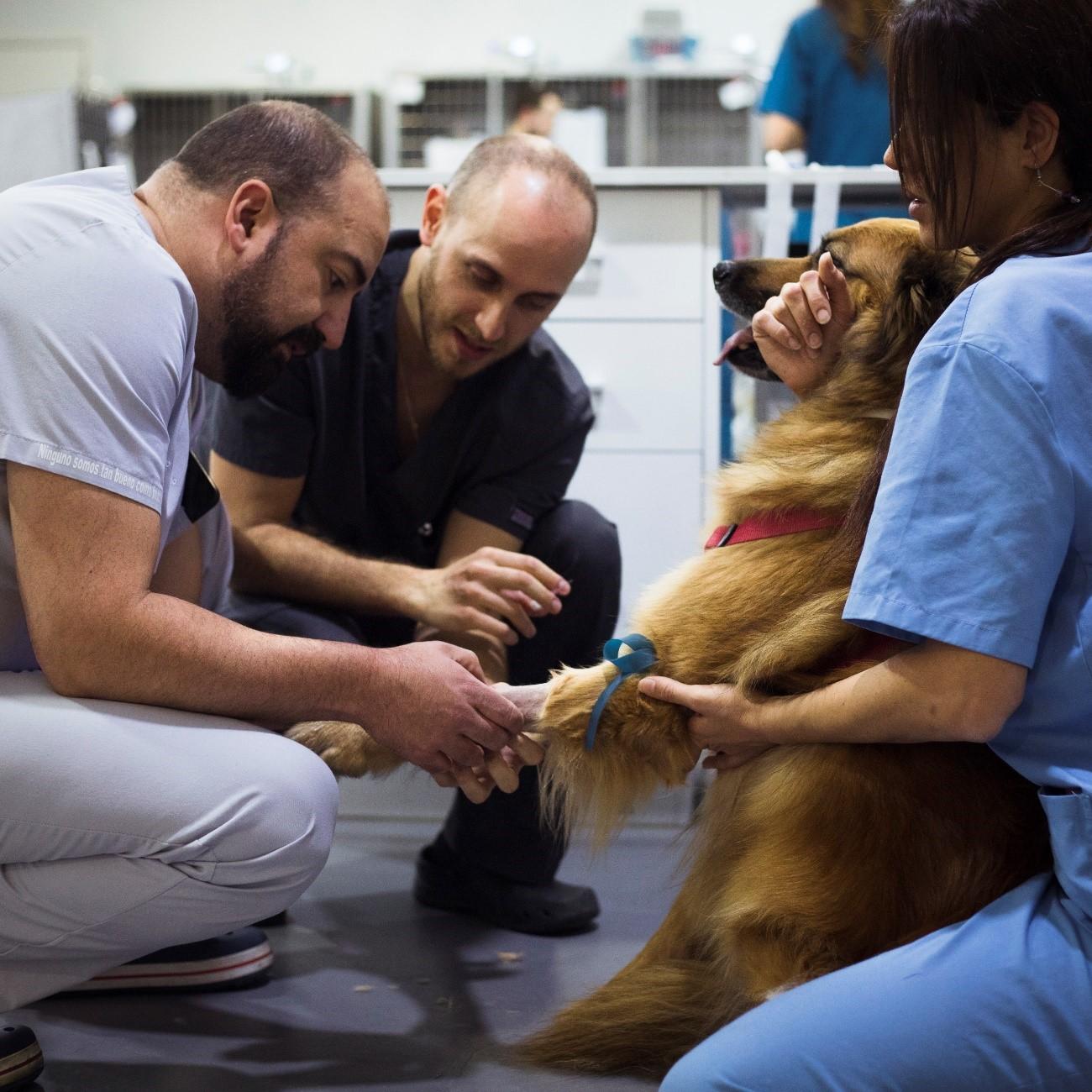 trauma veterinario