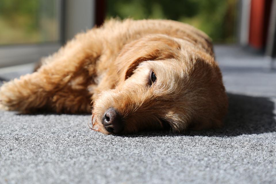 Los perros también sufren golpes de calor 1