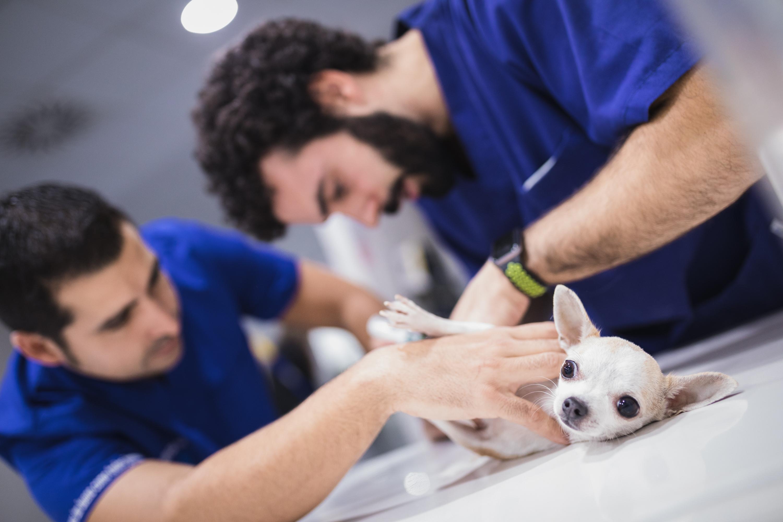 cesarea a una perra
