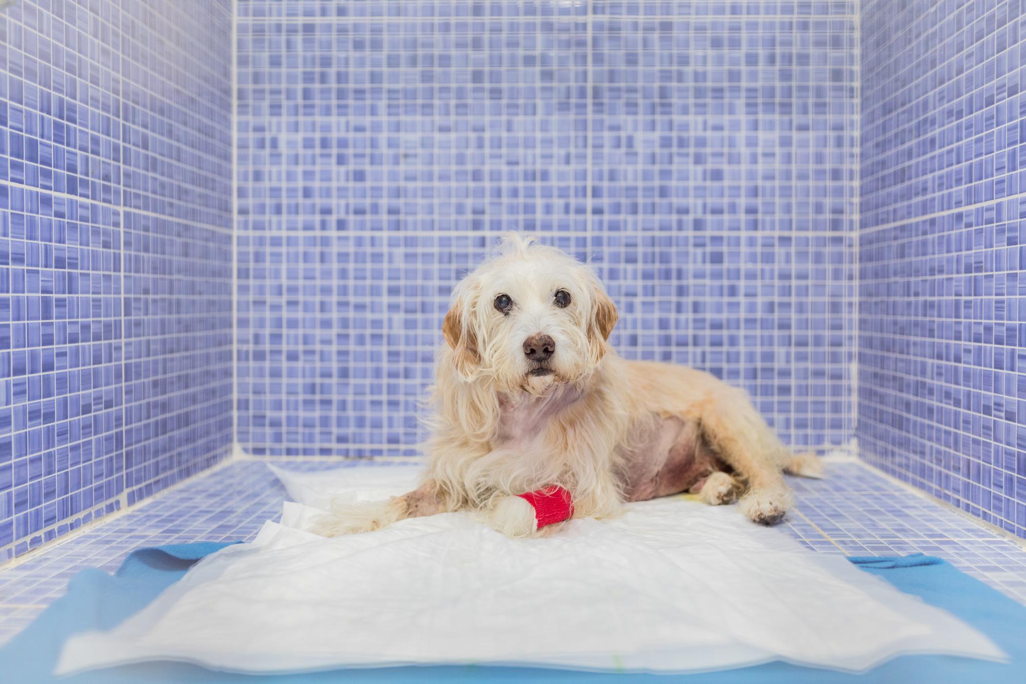 cirugía por desgarro en la pared abdominal de un perro 1