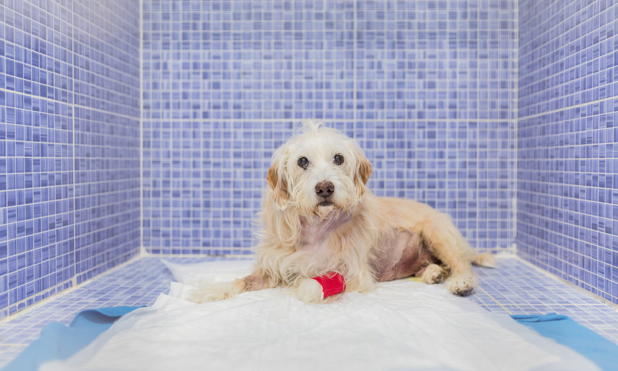 cirugia desgarro pared abdominal perro