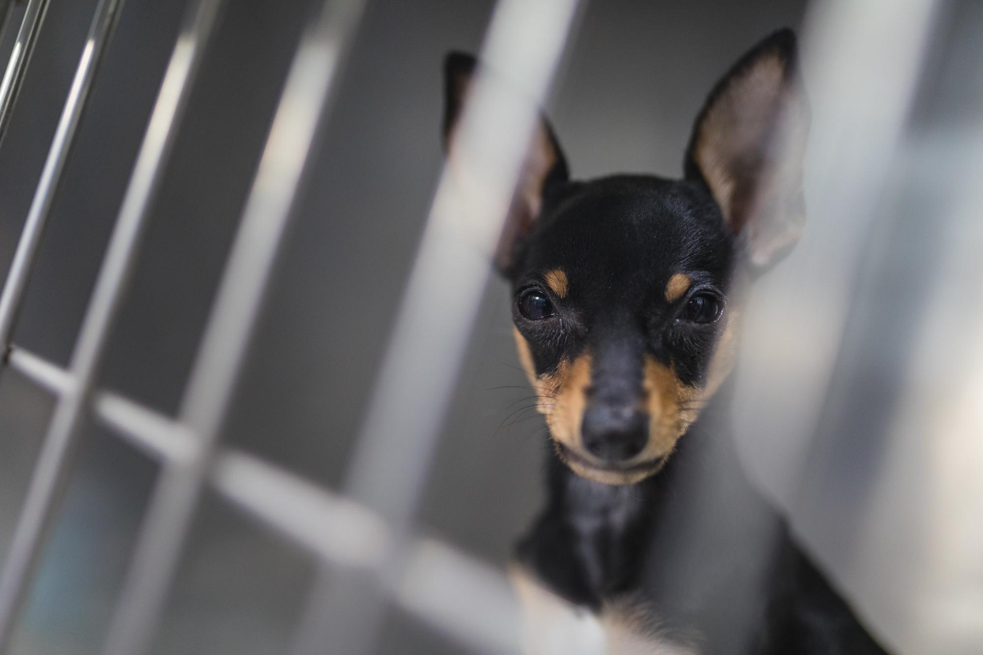 cirugía malformación paladar perro