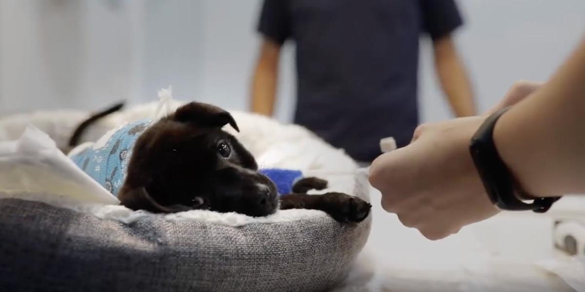 cirugia fractura columna cachorro estrella negra
