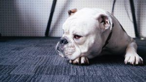 fiebre en perros