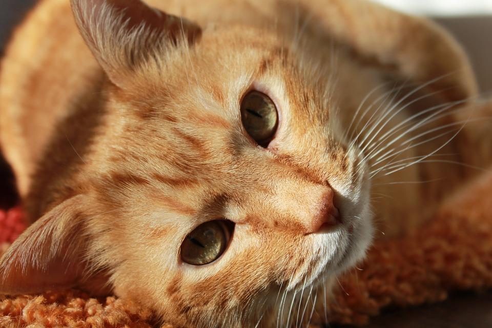 diabetes gato
