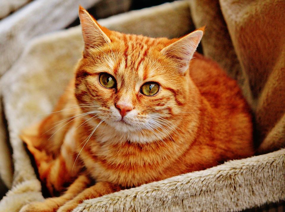 infeccion orina gatos
