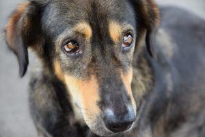 sindrome seco perros oftalmologo veterinario