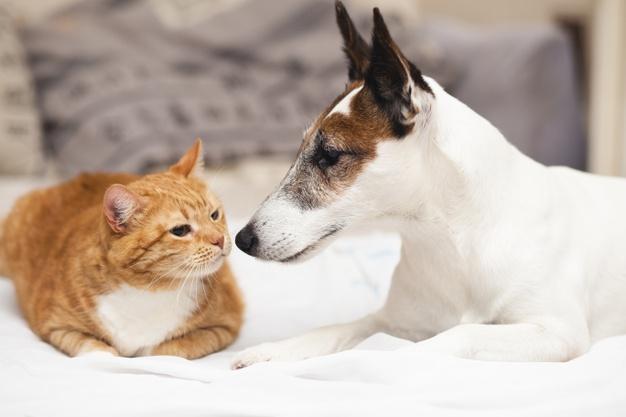 sintomas quilotorax perros y gatos
