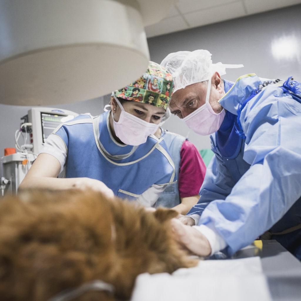 cirugia veterinaria colapso traqueal