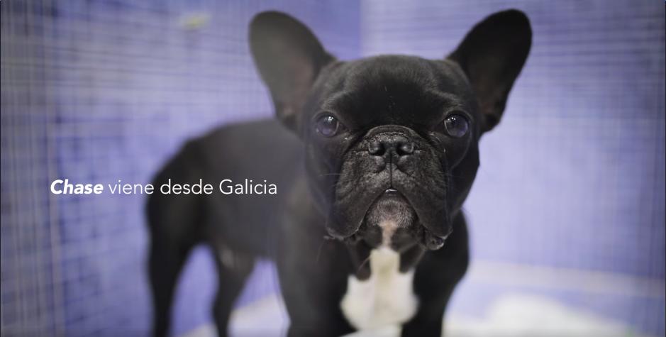 chase cirugia perro problemas respiratorios