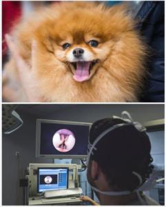 paralisis laringea perro